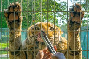 Front shot of a tiger while feeding meat through a cage