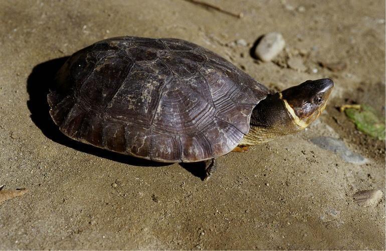 brown Philippine forest turtle sitting on dirt