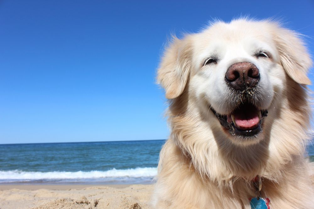 Smiling face of a golden retriever at the beach with the ocean behind it