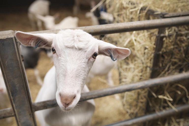 Goat poking head through gate on farm