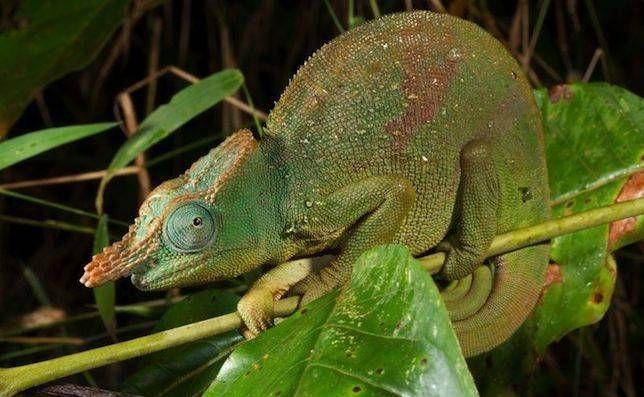 Giant East Usambara Blade-horned Chameleon