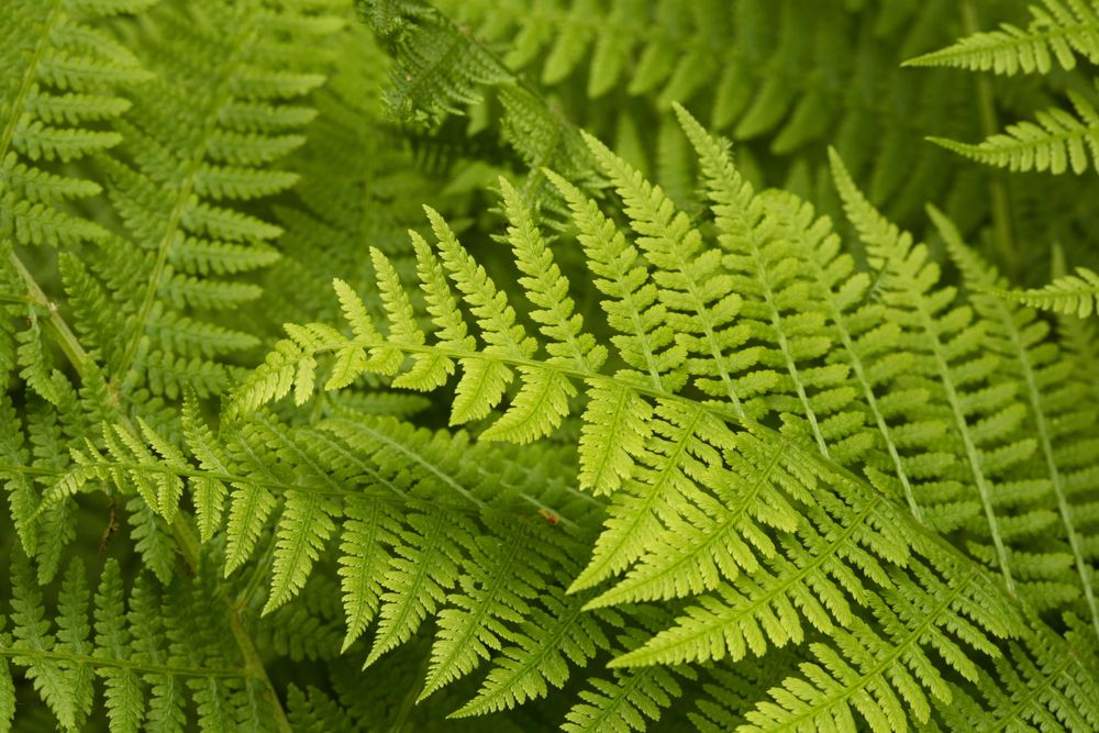 lady fern, Athyrium filix-femina