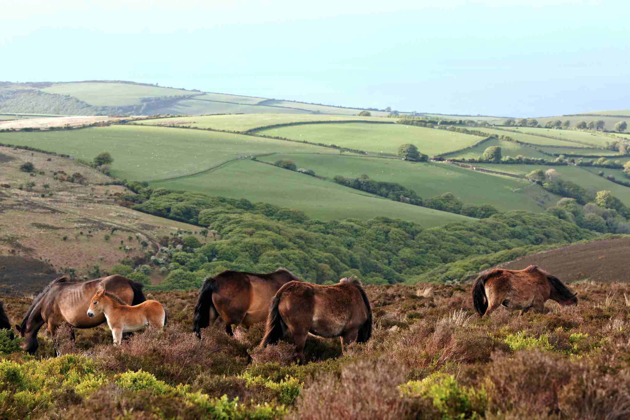 A band of Exmoor ponies grazes in a high meadow