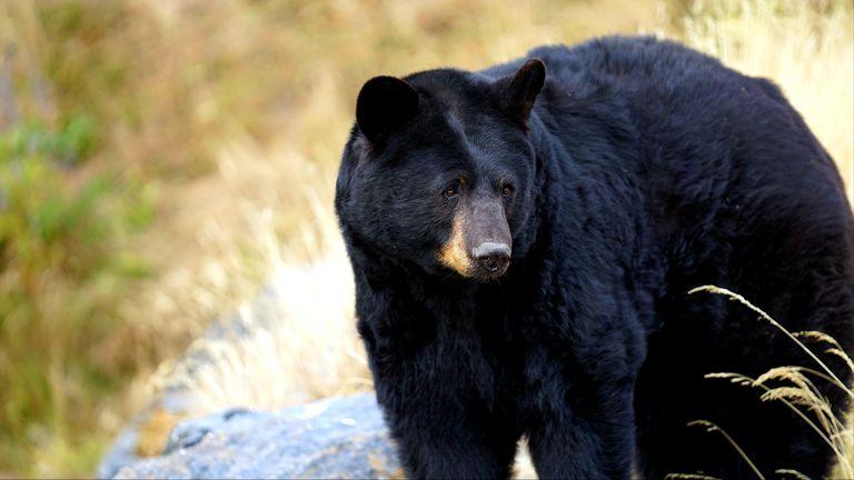 A adult black bear in Anchorage, Alaska