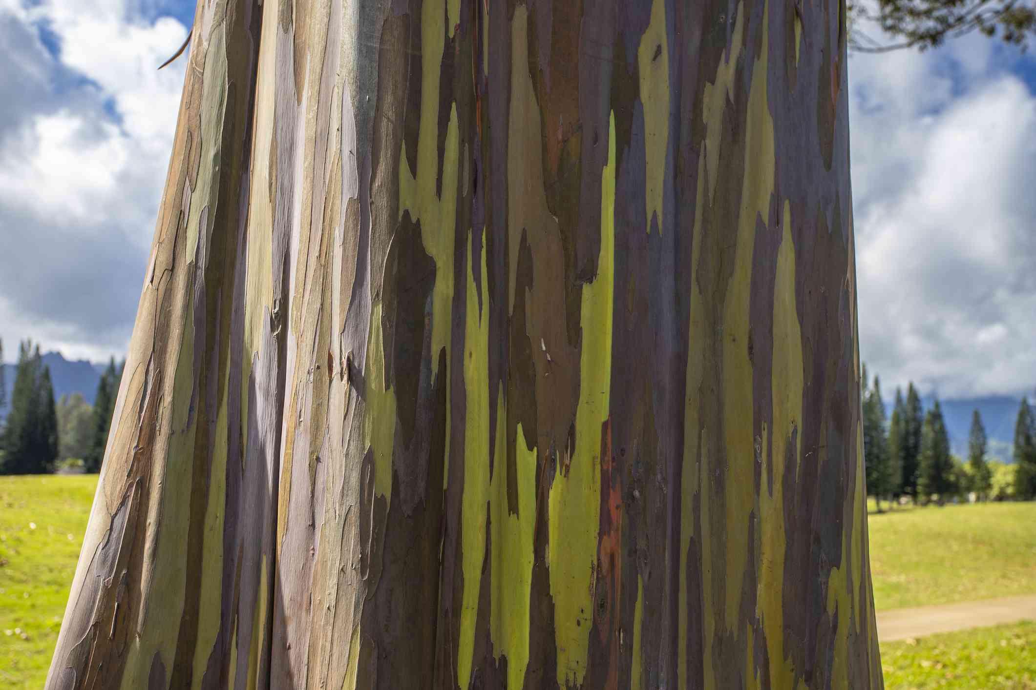 Rainbow Eucalyptus bark with golf course in background
