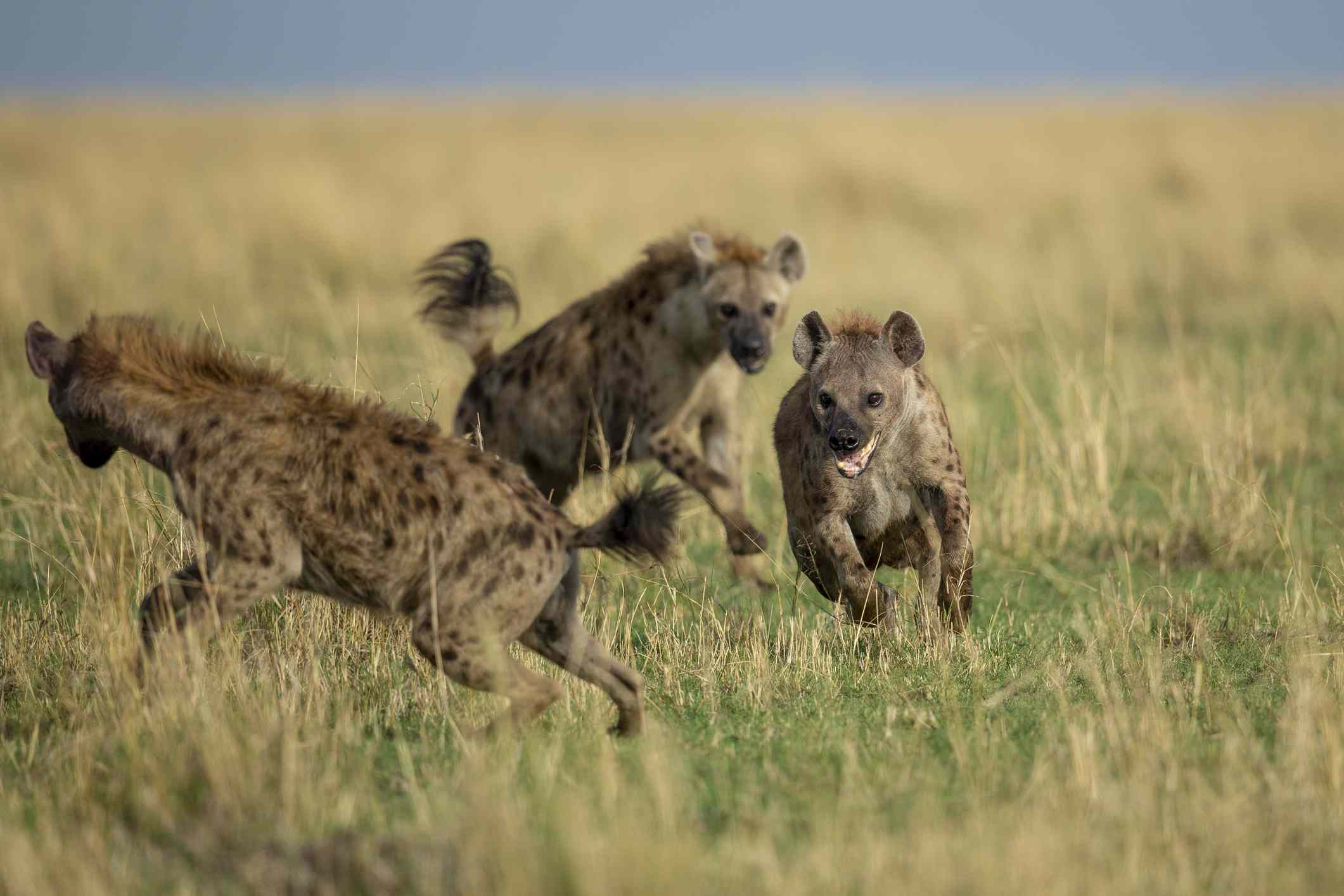 Pack of hyenas running in tall grass