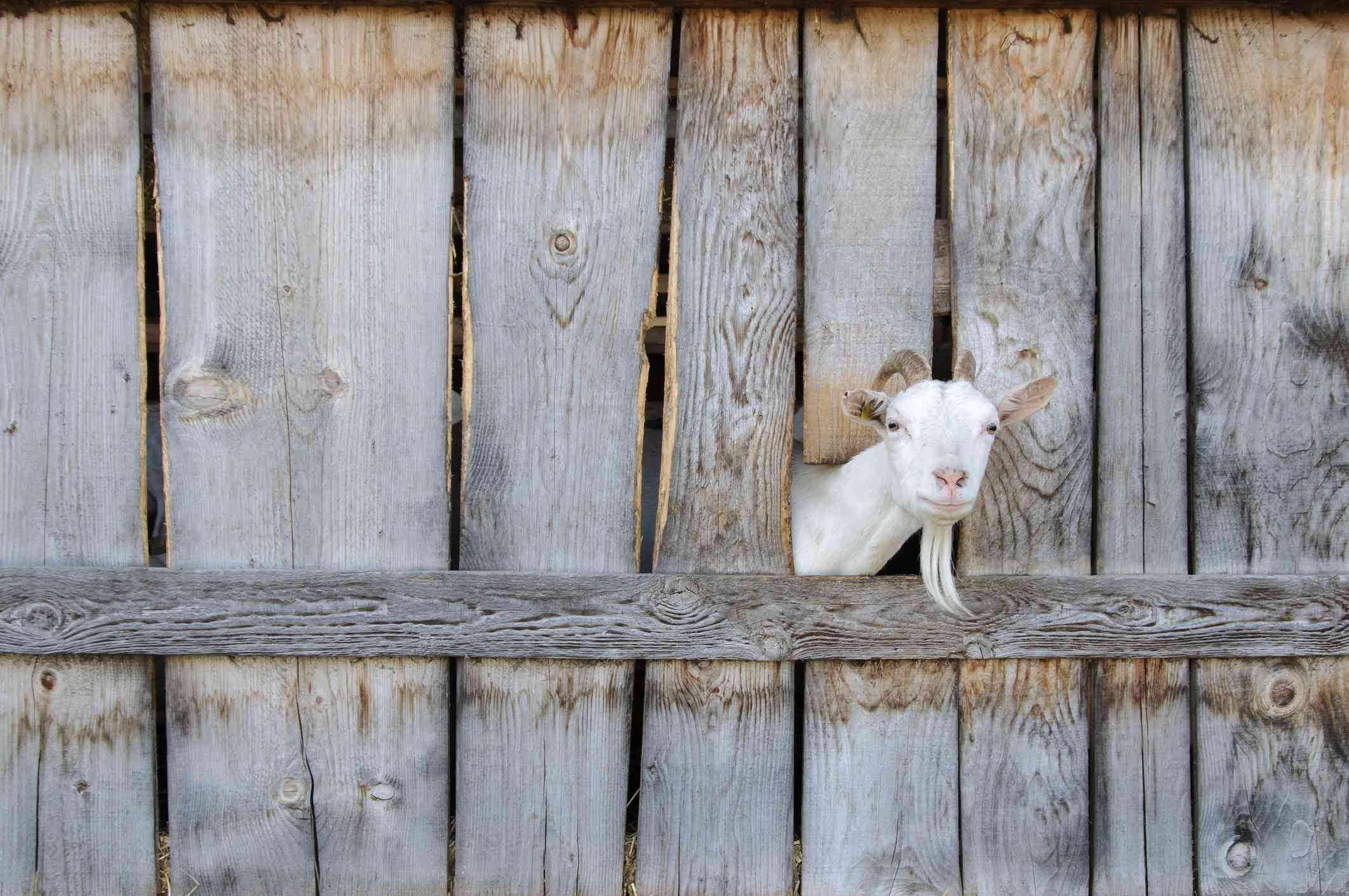 Goat poking its head through a wooden fence