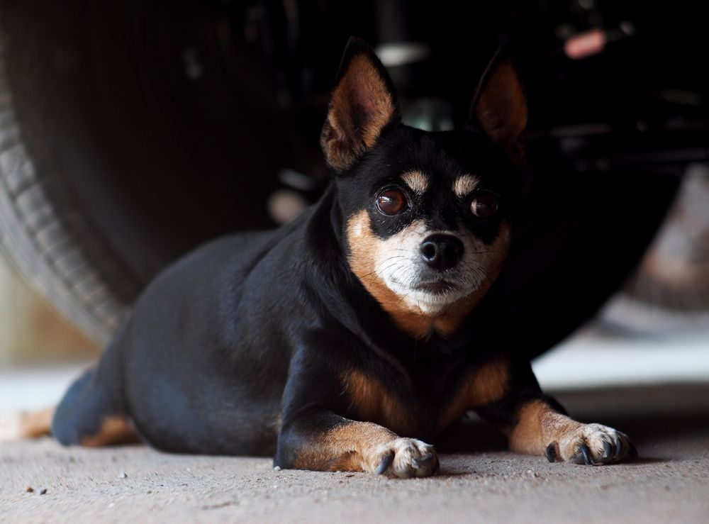 Chihuahua laying on the ground next to a car tire