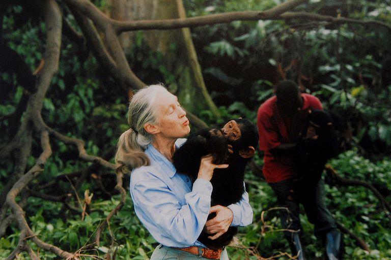 Primatologist Jane Goodall holding a chimpanzee in the wild