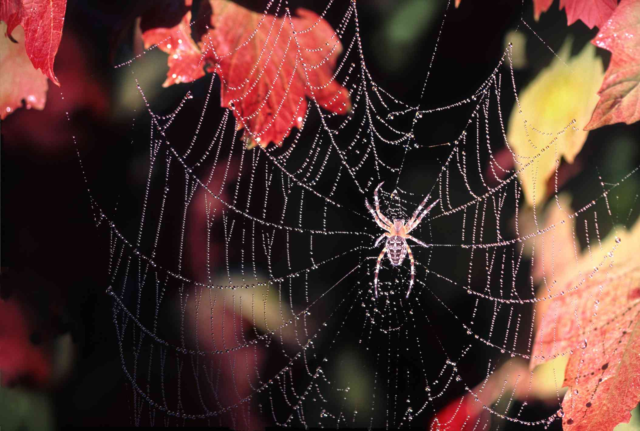 orb-weaver spider in a web surrounded by fall leaves
