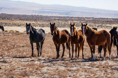Horses of the Onaqui Wild Horse Herd in Utah, U.S..