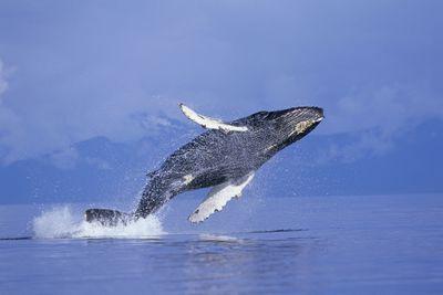 A humpback whale breaching in Frederick Sound