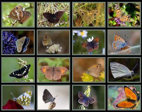turkish butterflies species collage photo