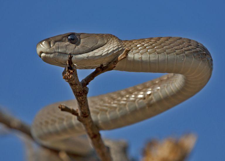 Close up of black mamba snake on branch