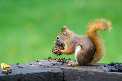 Squirrel holding an acorn