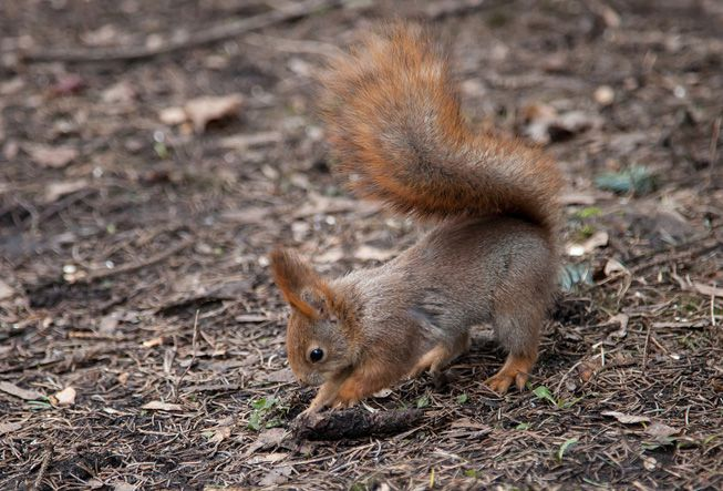 A squirrel digging in the ground