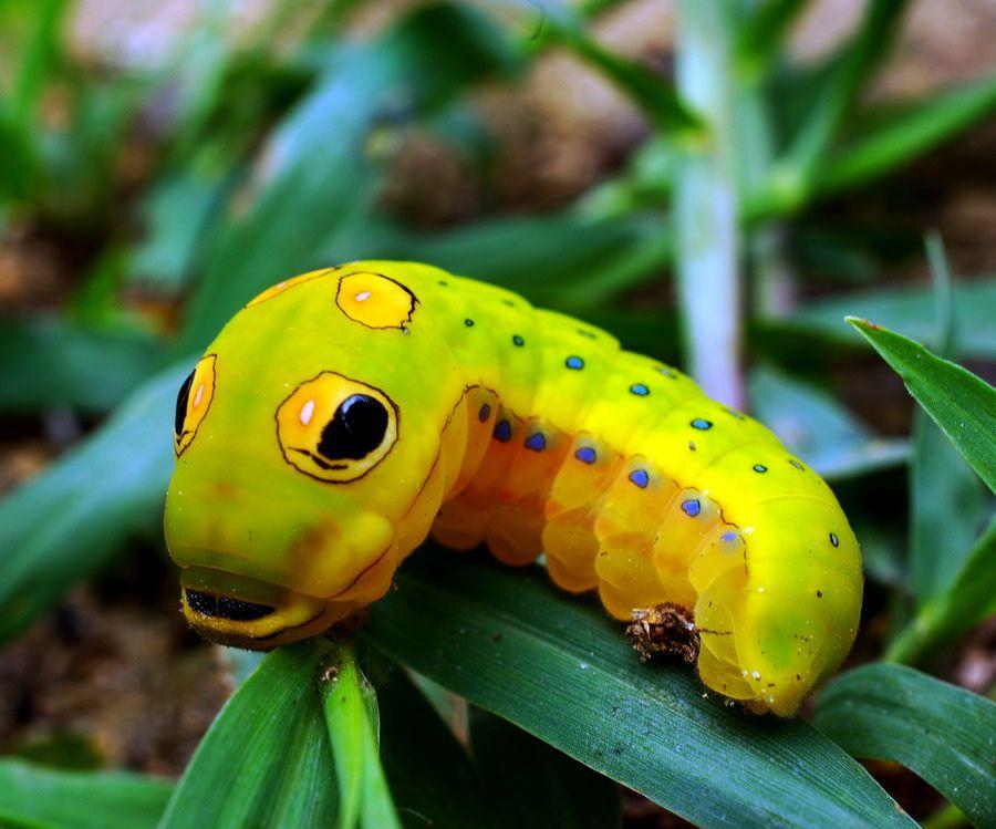 A spicebush swallowtail caterpillar sits on a leaf.