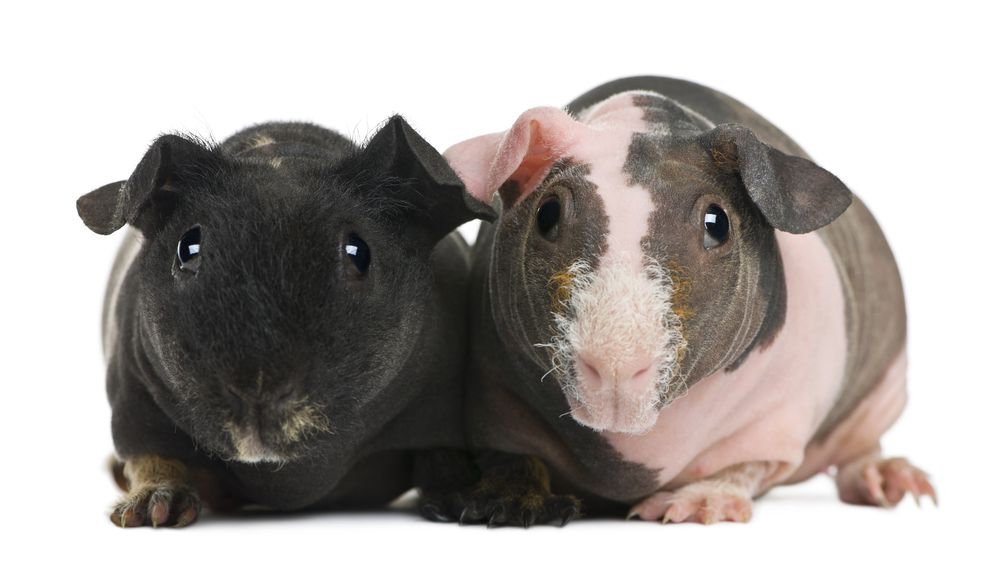 Hairless guinea pigs come in different colors, or rather, skin tones.