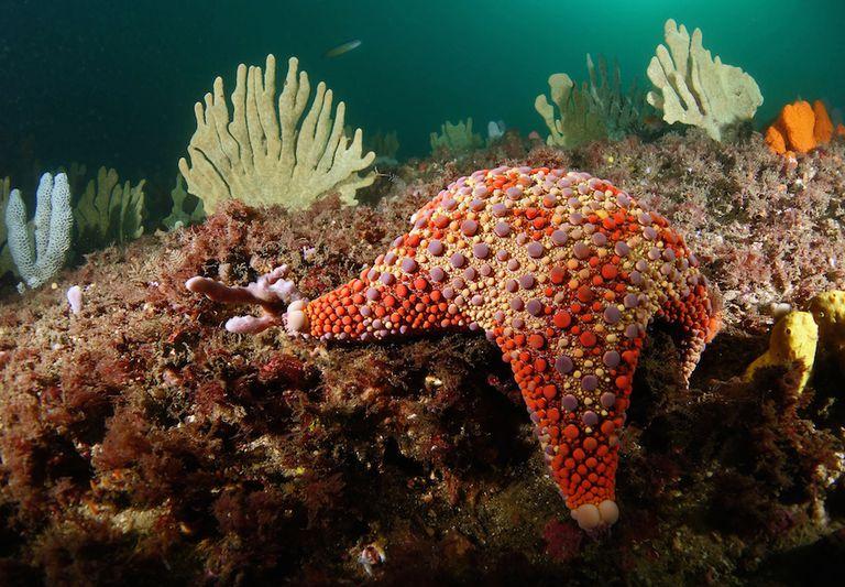 A firebrick sea-star on the ocean floor