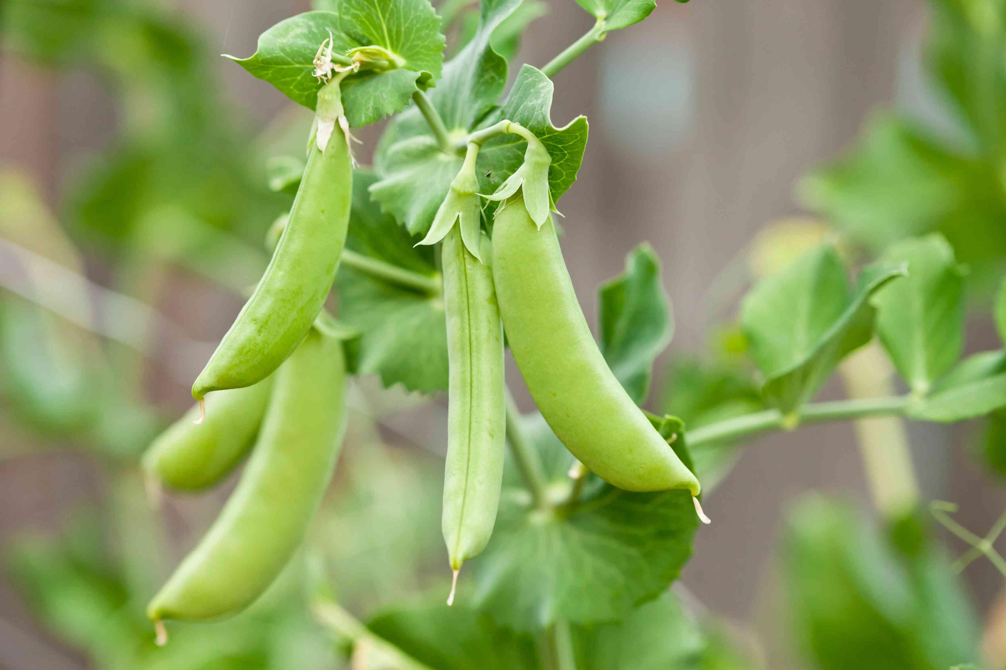Several bright green sugar snap peas hang on a vine