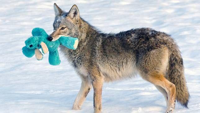 Coyote encuentra un juguete de perro viejo, actúa como un cachorro