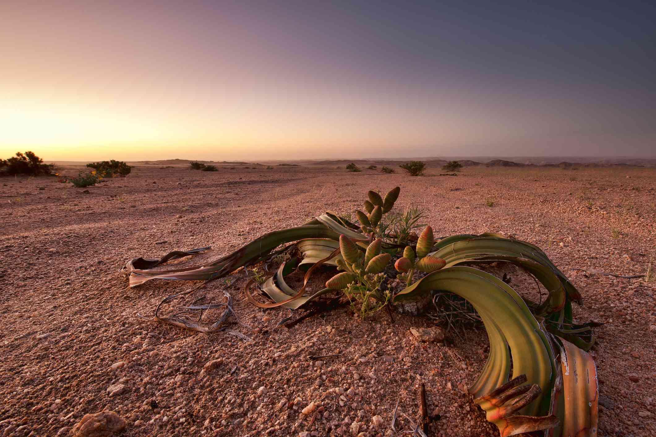 Tree tumbo (Welwitschia mirabilis)