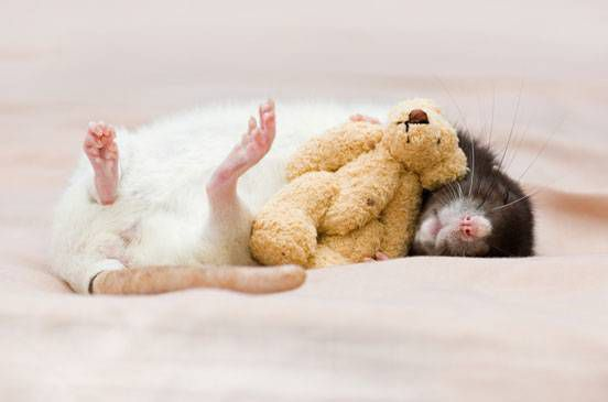 A rat curls up with a yellow teddy bear on a pink blanket