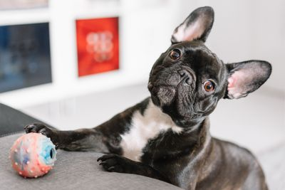 French Bulldog with paw on a toy