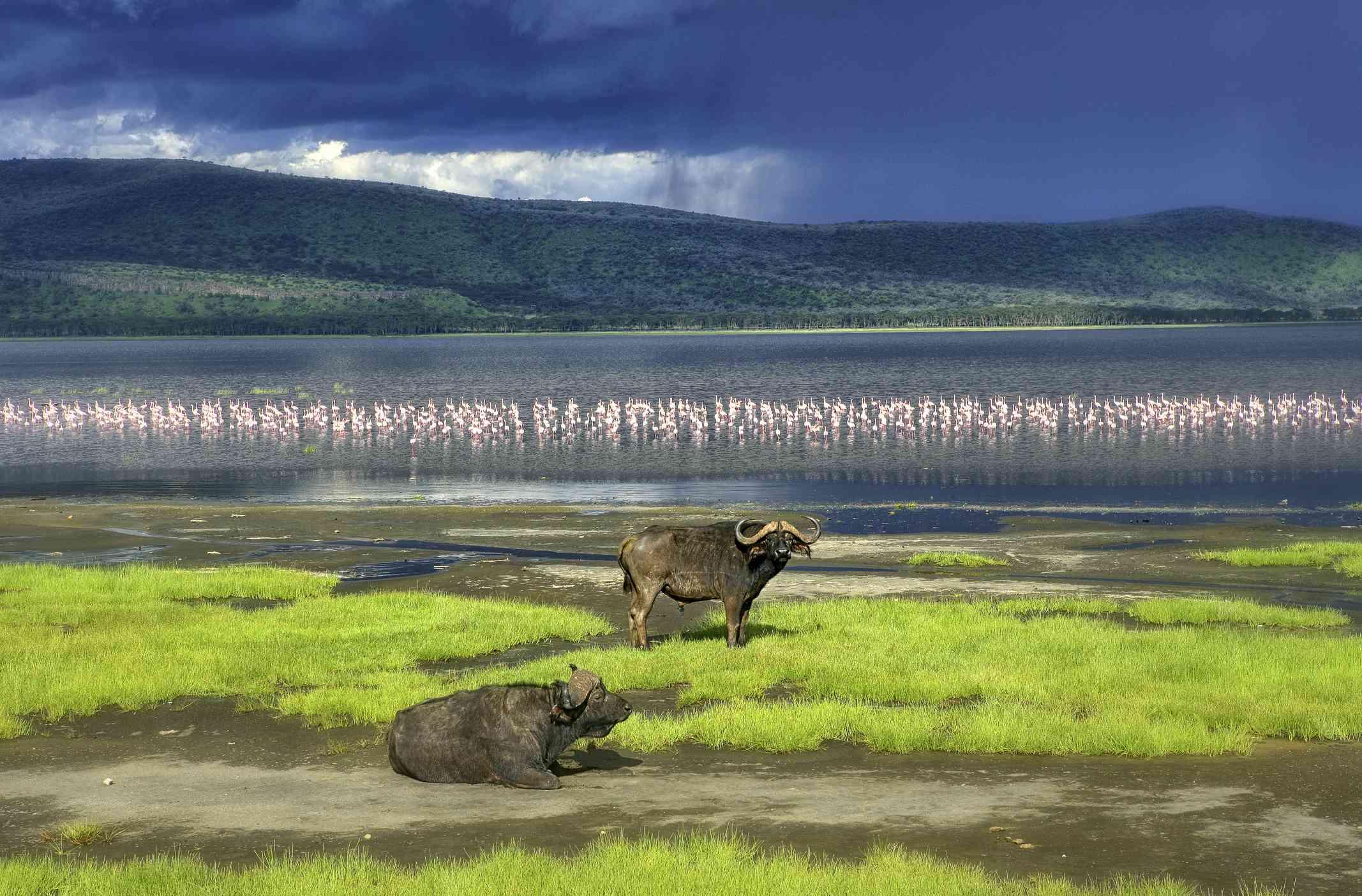 Water buffalo and flamingos in Lake Nakuru.