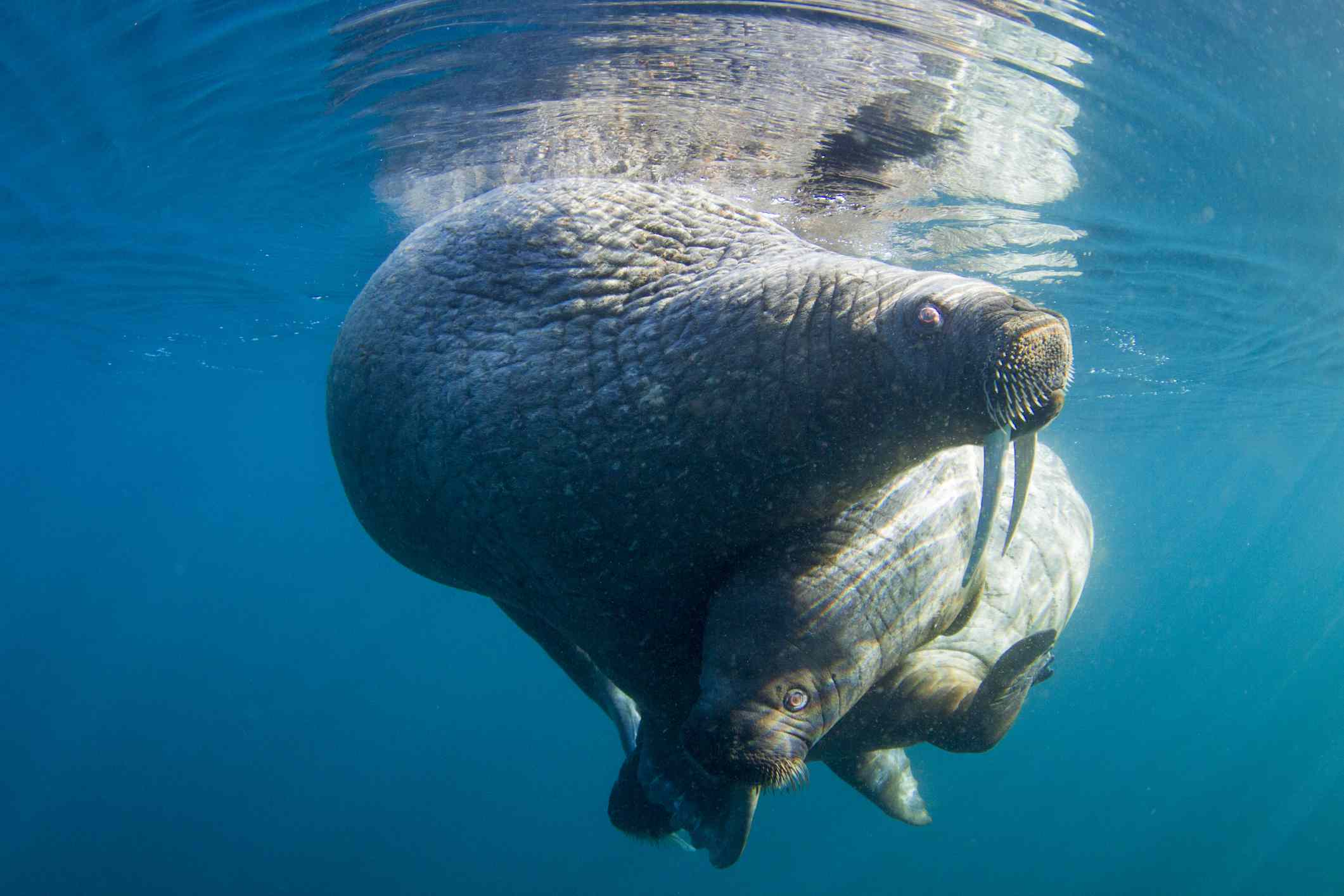 female walrus and calf floating together under the water's surface