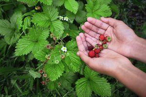 a handful of wild strawberries