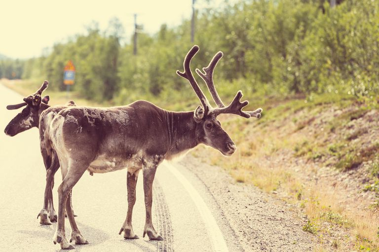 Reindeer stand on a roadway
