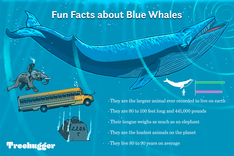 fun facts about blue whales illustration