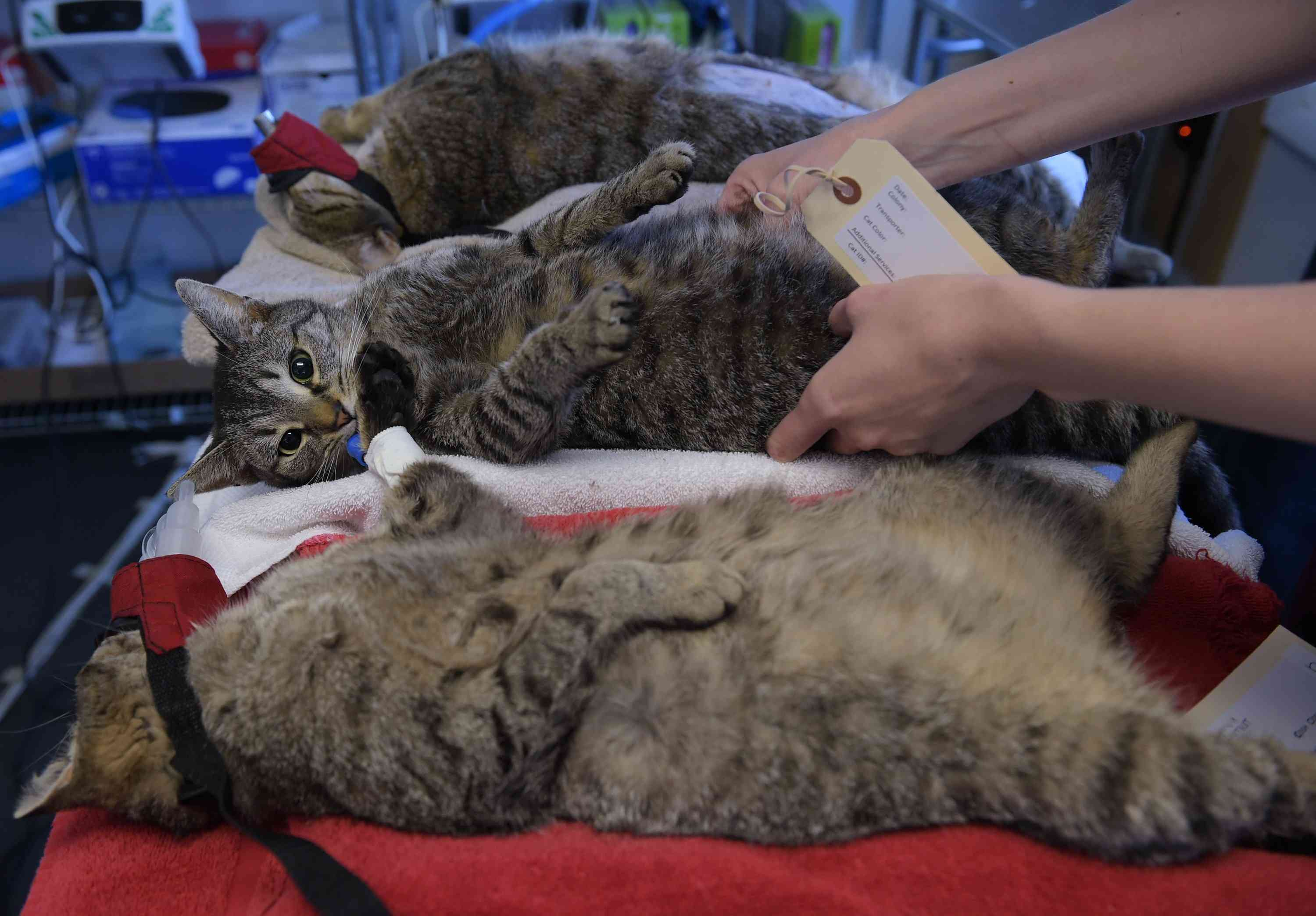 feral cats waiting to be sterilized for TNR program