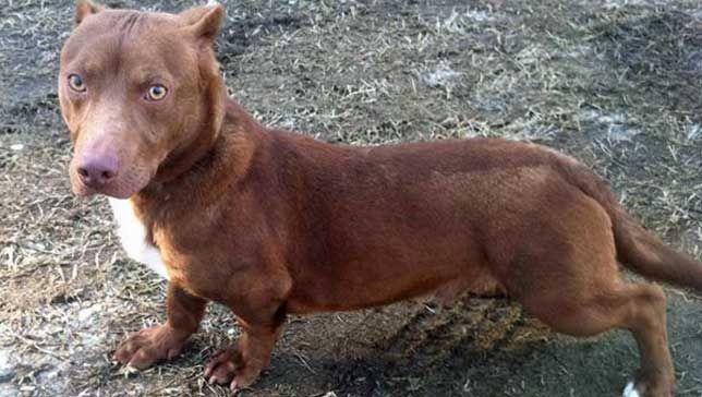 Rami half dachshund-half pit bull, all dog