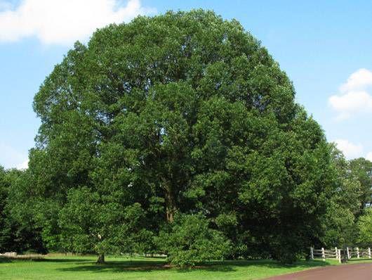 white oak, northeast native