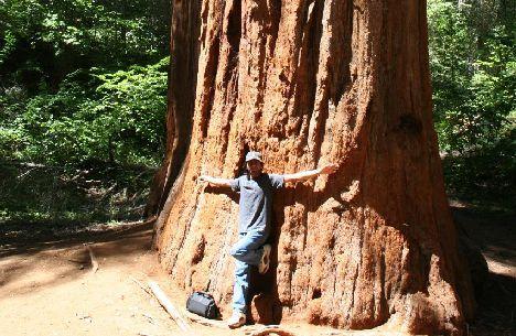 yosemite giant trees disappearing photo