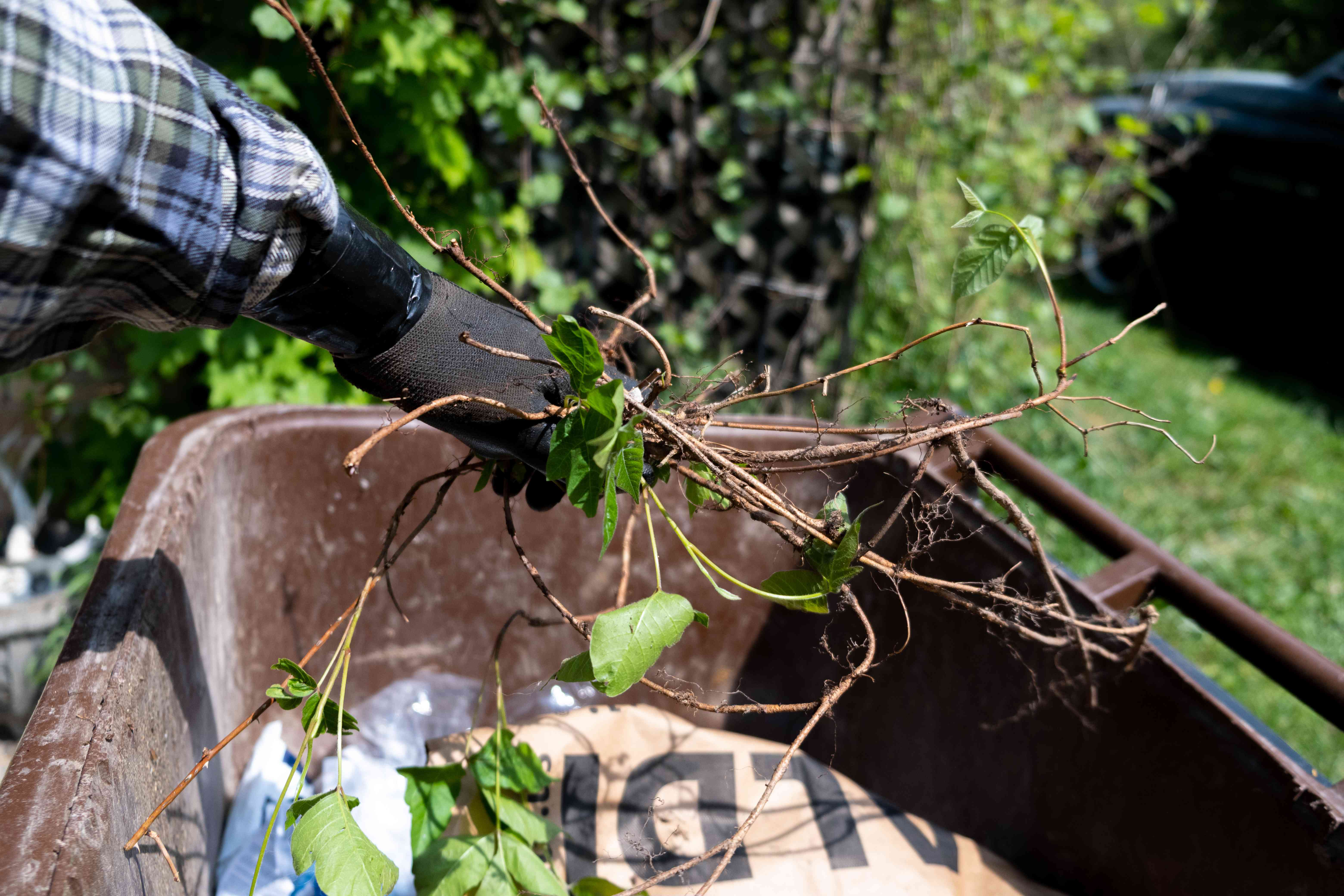 poison ivy pulled up by the roots is tossed into wheelbarrow for trash