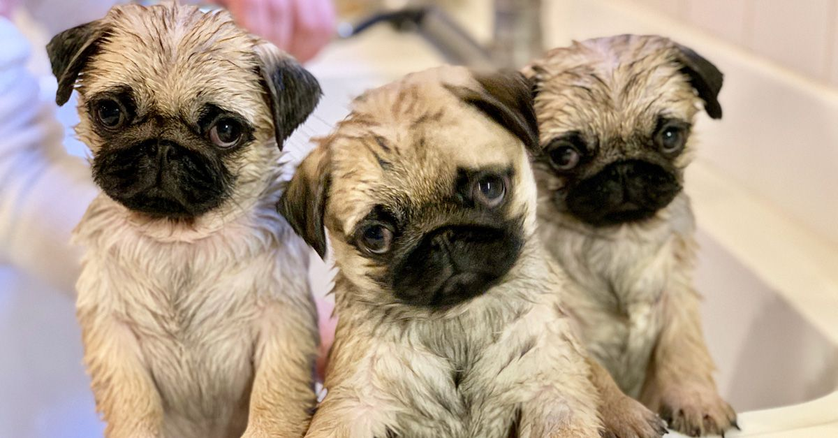 We Just Hosted a Pug Sleepover Party, and We're About to Do It Again