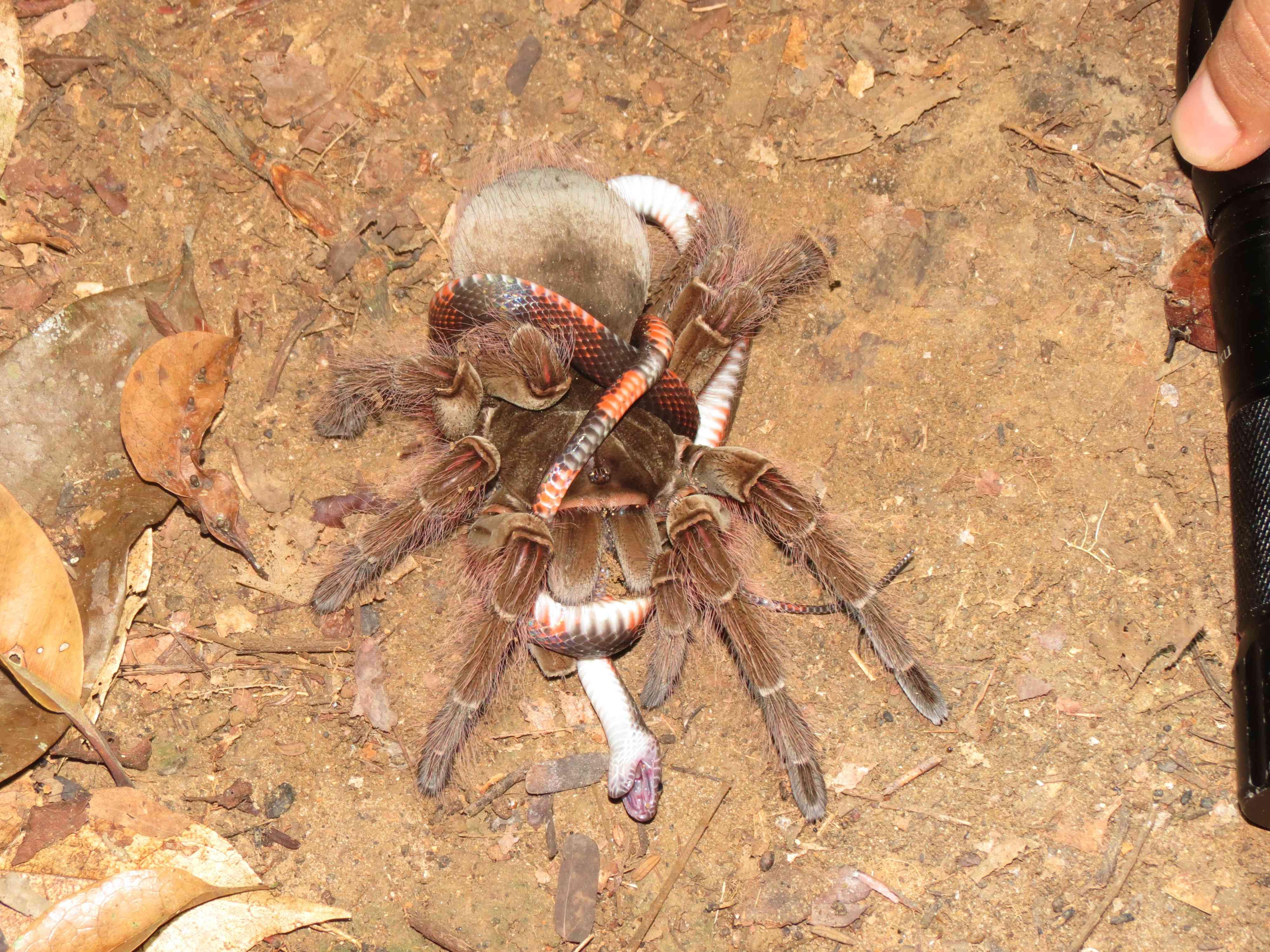 tarantula capturing a juvenile false coral snake