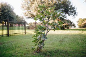 small fig tree big yard
