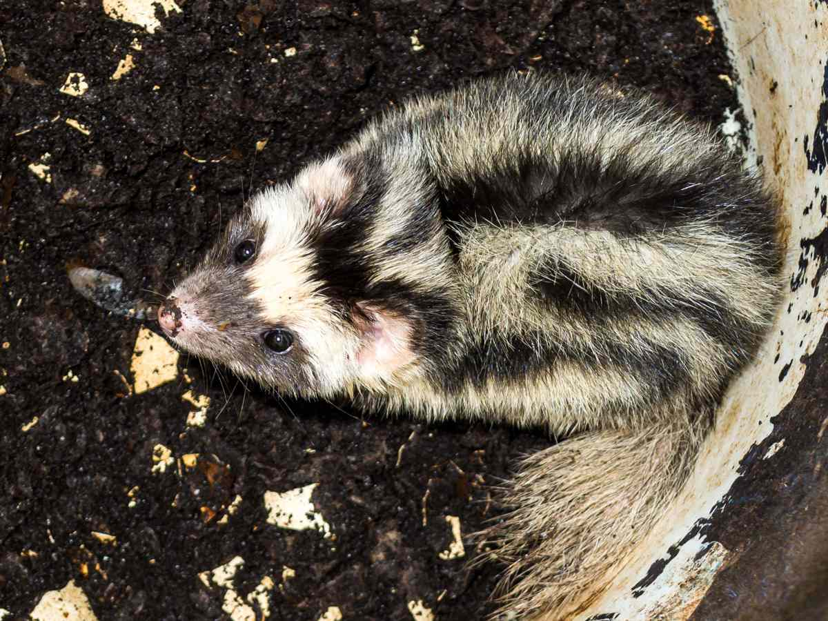 pygmy spotted skunk huddled in dirt, looks up at camea