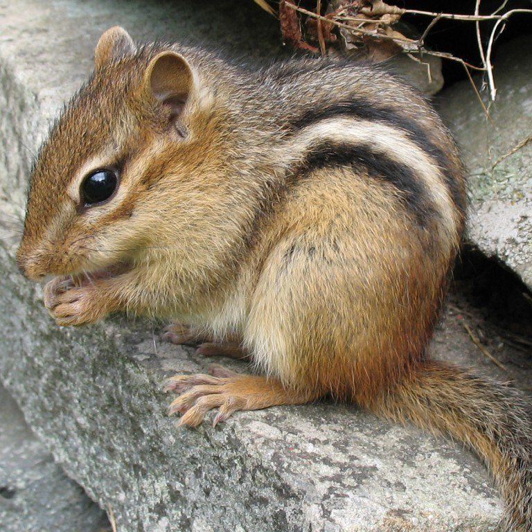 10 Things You Don T Know About Chipmunks