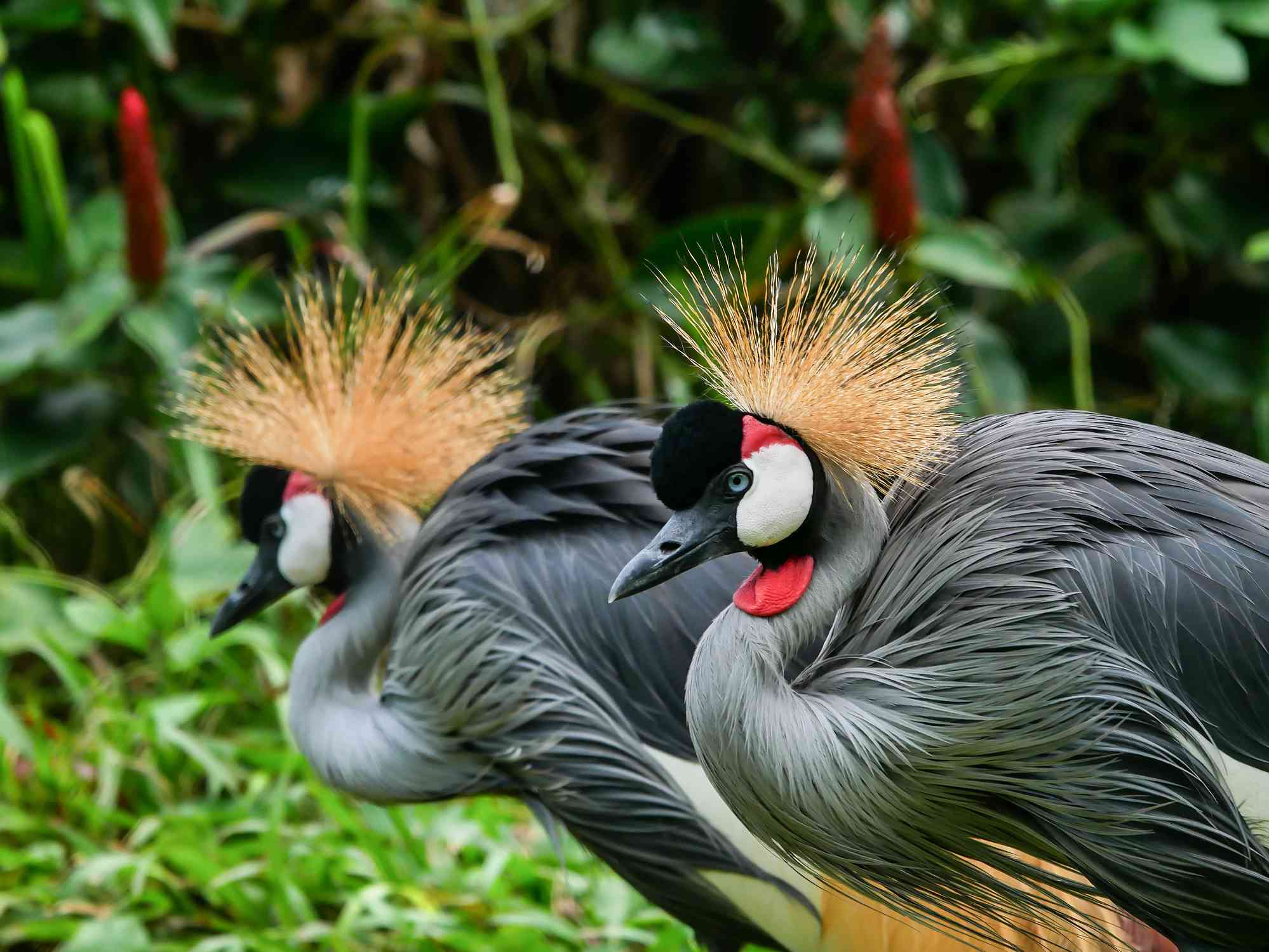 Pair of crowned cranes