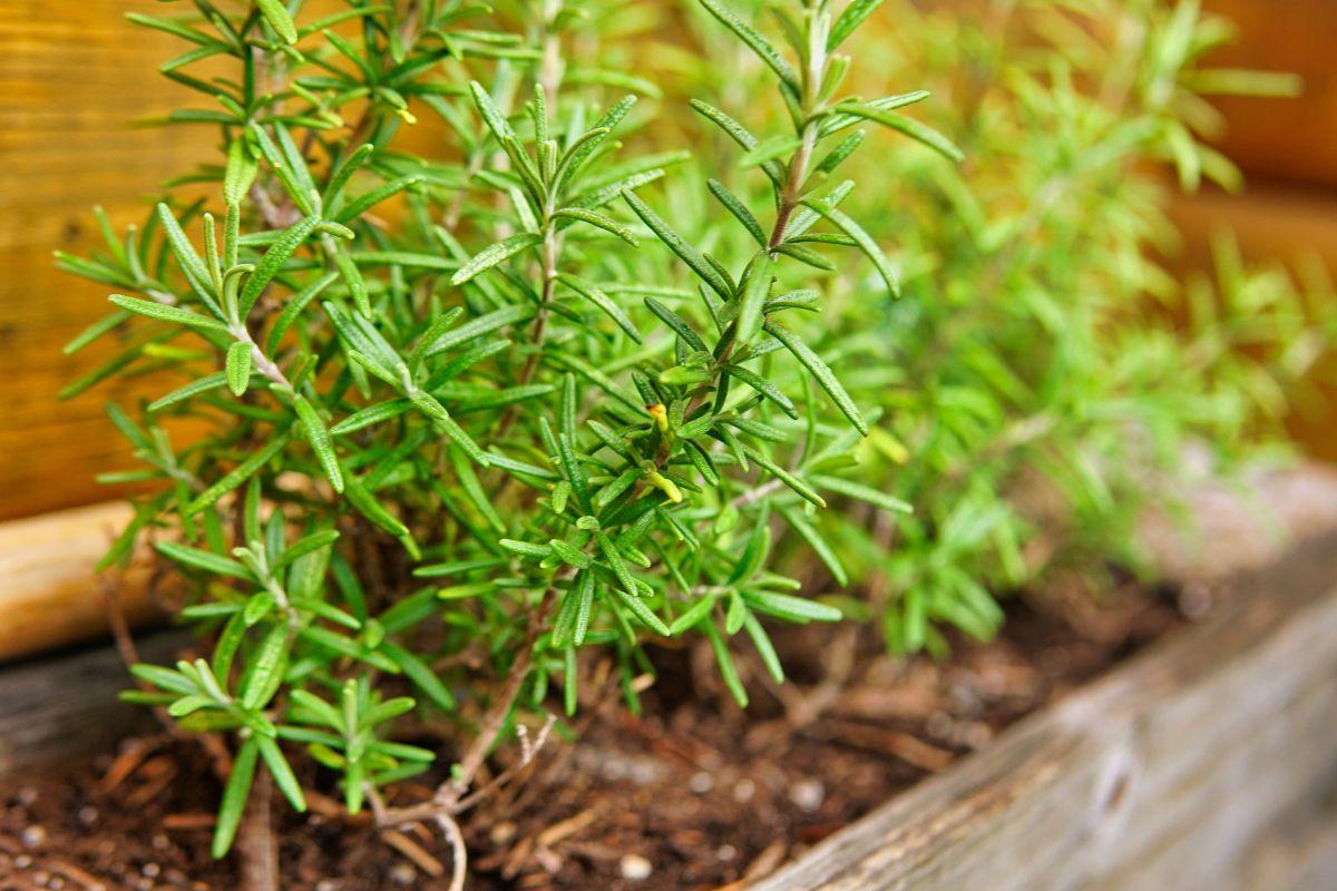up close shot of rosemary bush in wooden box