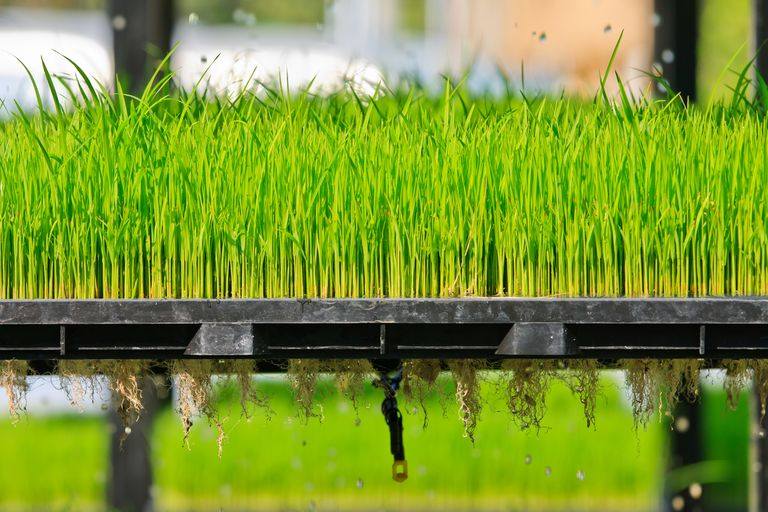 Growing rice in an aeroponics system