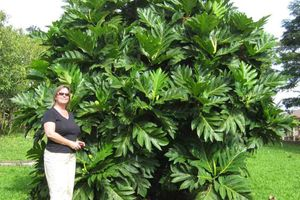 Woman stands by a large Breadfruit tree