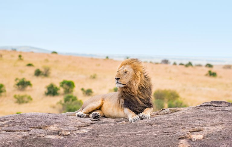 Lion laying on a rock with the wind blowing through his mane