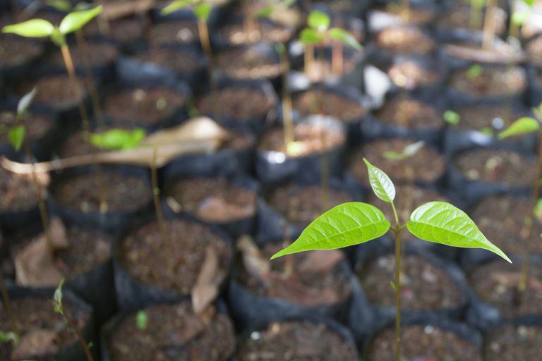 Tree seedlings growing in biodegradable wrap.