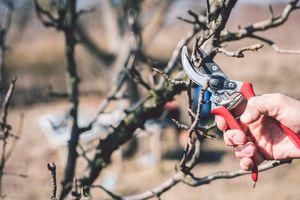 Pruning plants in the winter